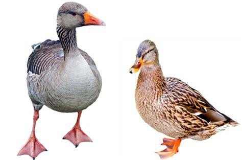 mary woodin england illustrator mallard ducks duck mallard and greylag goose free stock photo public