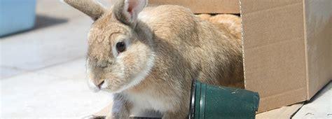 rabbit behaviour rabbit advice  welfare rspca advice