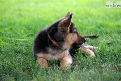 free puppies springfield mo belgian malinois puppies for sale springfield missouri breeds picture