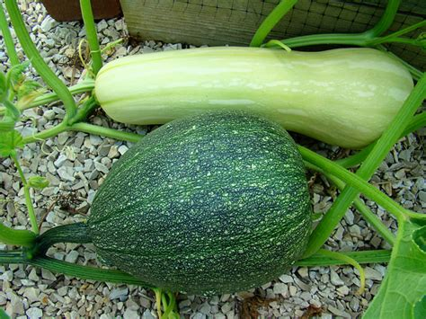 rurification volunteer squash 3 and 4