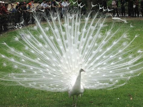 imagenes reales de un basilisco pavo real blanco en hangzou china white peacock flickr