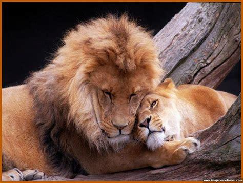 imagenes de leones felises pareja de leones enamorados imagui