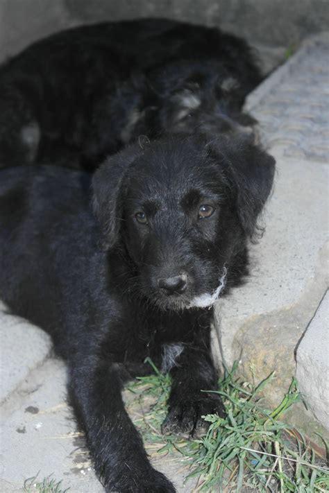 labrador doodle puppies sale uk last gorgeous poodle labrador puppy for sale canterbury