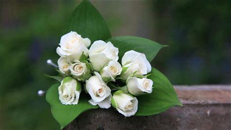 gambar wallpaper bunga mawar putih inilah 10 gambar bunga mawar yang menakjubkan pesona dunia