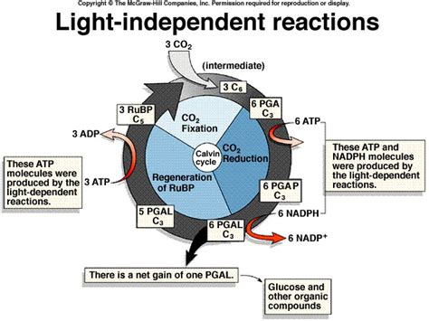 Where Do The Light Independent Reactions Of Photosynthesis Occur by 4 Gb 06 Photosyn Spr2003