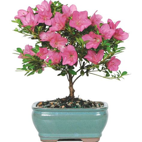 Bonsai Pink japanese satsuki azalea bonsai tree pink blooms free 2 day