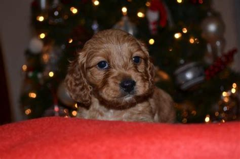 puppies for sale in salisbury md for sale mix breed puppies for sale mix breed