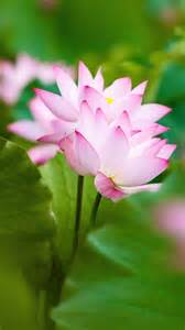 Pink Lotus Twol Pink Lotus Flowers And Leaves Wallpapers 1080x1920 753766