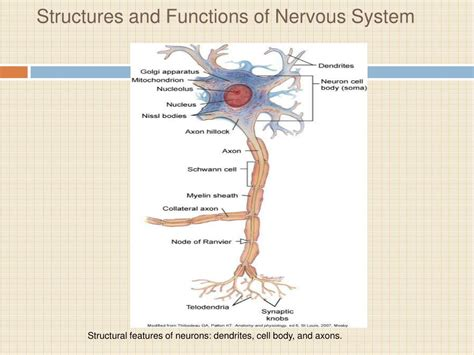section 35 3 divisions of the nervous system ppt stroke nursing management powerpoint presentation