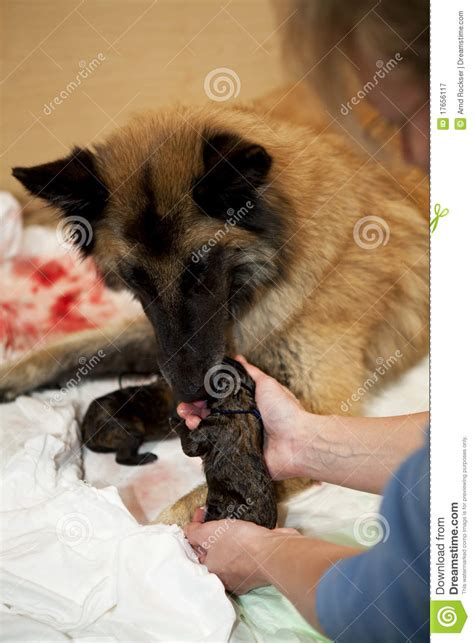 taking care of newborn puppies taking care of newborn puppy royalty free stock photography image 17656117
