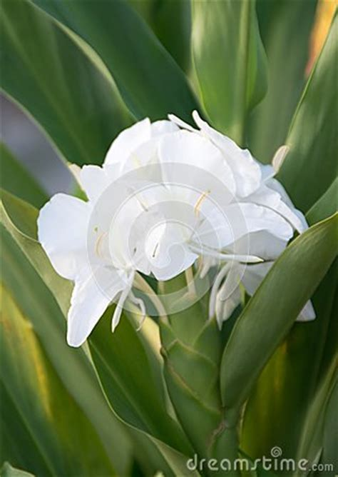 o bianco fiore zenzero bianco o mariposa fiore nazionale cubano