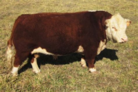tattoo prices hereford hoffman a i breeders bulls