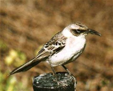 galapagos mockingbird archives animal facts for kids