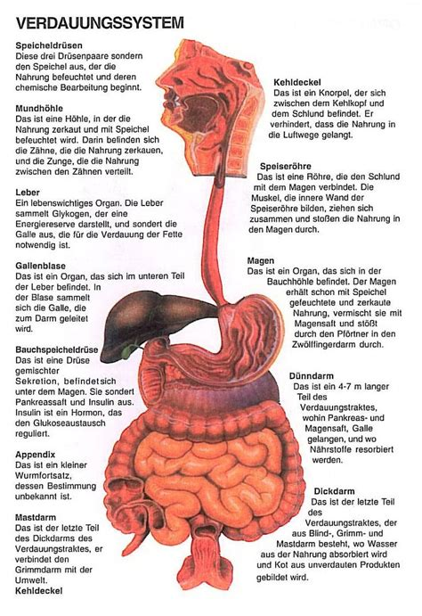 innere organe des menschen schaubild innere organe menschen schaubild best 25 mensch anatomie