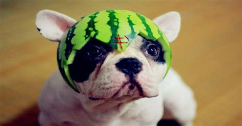 can my eat watermelon can my eat that a definitive guide to foods dogs can and can t certapet