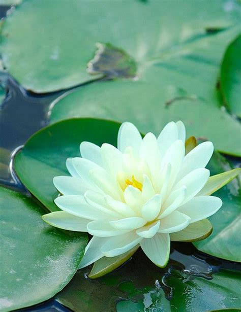 251 Best Flowers Their Meaning Images On Pinterest Lotus Flower Garden