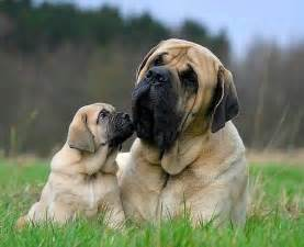 mastiff colors top 3 breed of you d wish you own