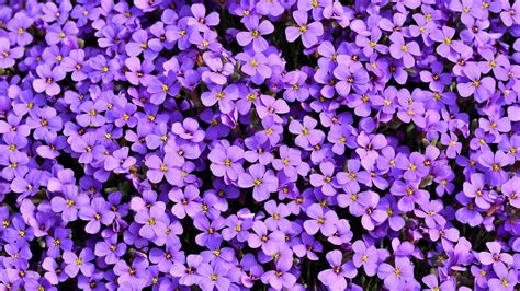 purle aubrieta flowers  wallpapers hd wallpapers id