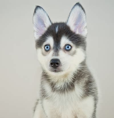husky pomeranian mix cost how much does it cost to buy a pomsky puppy pomsky