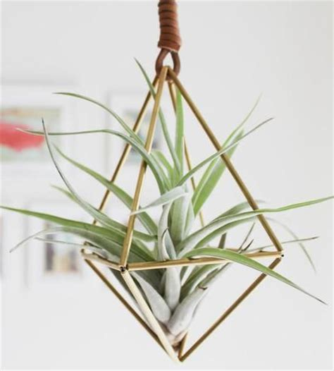 hanging air plant 27 coolest ways to display air plants shelterness