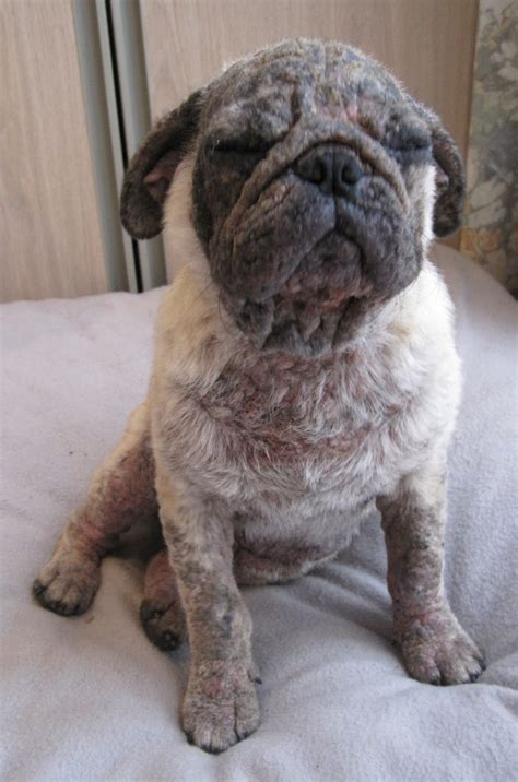 pug eye infection home remedies for yeast infection buzzle rachael edwards