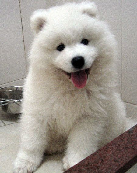 how much are samoyed puppies 61 best images about samoyed siberian husky russia on siberian
