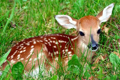 Deer With by Fawn Deer Deer Photo 30735551 Fanpop