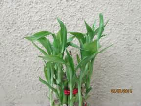 plants indoors how to grow bamboo plants indoors apps directories