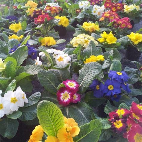 fiori da giardino primaverili fiori di primavera