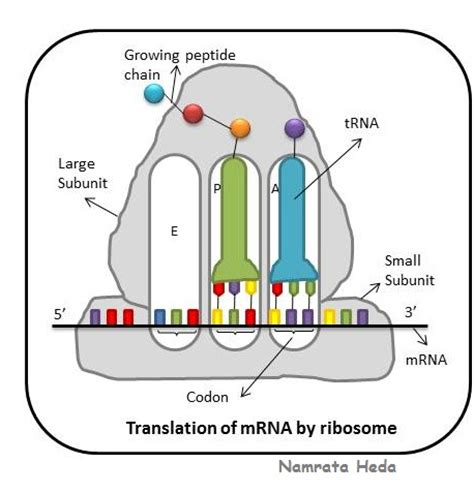 5 proteins made by ribosomes b for biology ribosomes protein assemblers of the cell