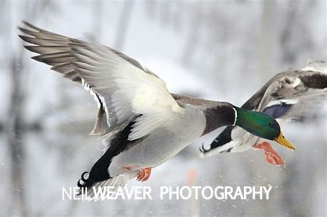 140 best images about mallard on pinterest photographs