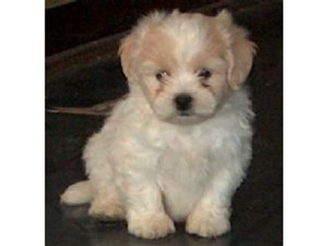 bichon poodle rescue indiana pekingese puppies in indiana