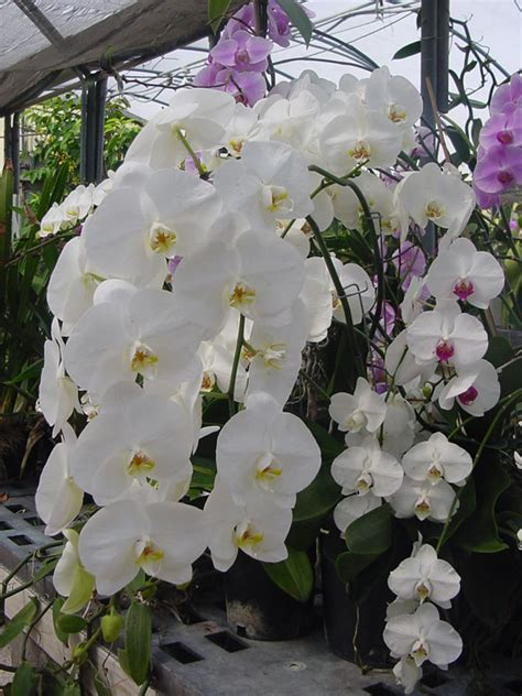 care of orchids after flowering orchid phalaenopsis