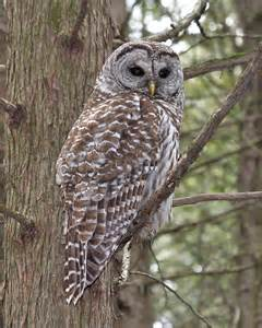 barred owl scenes and inspirations pinterest