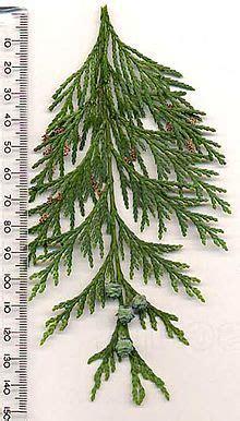 Kirschlorbeer Prunus Laurocerasus 263 by Prunus Laurocerasus Etna Kirschlorbeer Etna