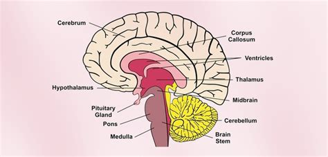 for the brain interesting human brain facts for adults learn the human