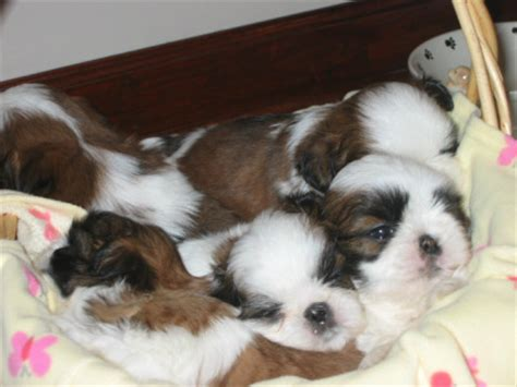 breeders in nc shih tzu puppies for sale wilmington nc