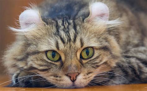 best breeds for cats best cats for choosing the best cat breeds for children