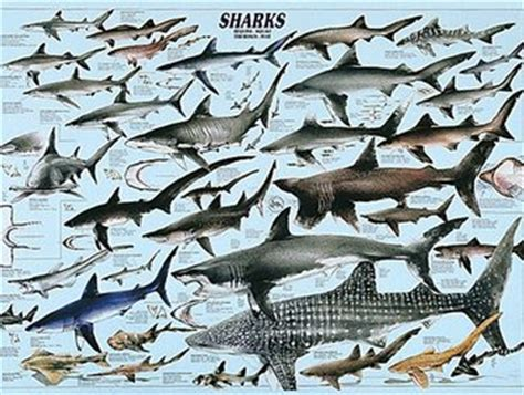 american sharks sharks of north american waters full color poster 23 quot x 37 quot