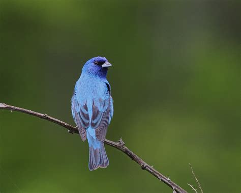 treknature indigo bunting photo