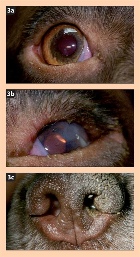 kcs in dogs keratoconjunctivitis sicca www imgkid the image kid has it