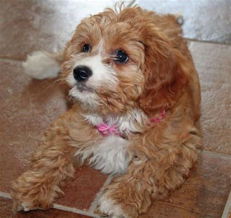 how big does a yorkie pomeranian mix get 17 best images about pets that i want on poodles puppys and yorkie