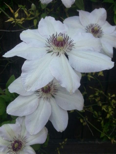 summer climbing plants 17 best images about climbing plants on sweet