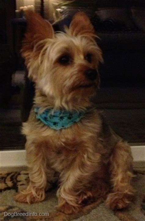 pictures of yorkies dogs terrier breed information and pictures yorkie