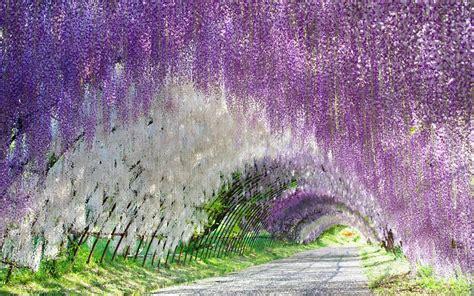 flower tunnel wisteria blumen tunnel in kitakyushu japan