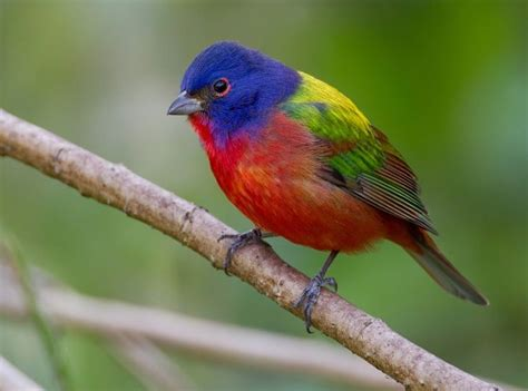 painted bunting florida painted bunting corkscrew