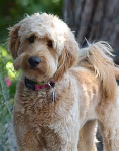 Goldendoodle Hair Types by Maggie The Goldendoodle Goldendoodles Dogs I