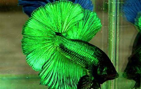 betta colors betta fish colors the fish doctor