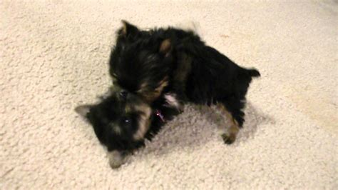 worlds smallest yorkie priceless yorkie puppy worlds smallest teacup yorkies puppies tug a war