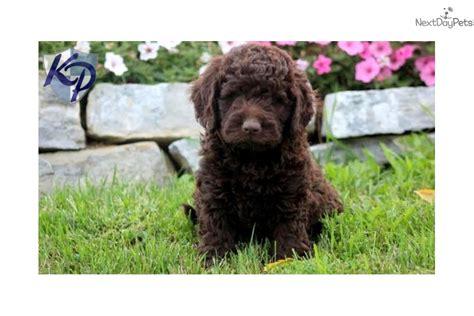 labradoodle puppies for sale near me labradoodle puppy for sale near lancaster pennsylvania a836643d 4d21